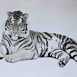 Tiger 7 by Paul Murray - Drawing All Drawing ( pencil, sketch, tiger, nature, wildlife, realism, drawing, animal )