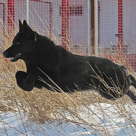 Misty in flight! by Lisa Susin - Animals - Dogs Running ( pup, play, german shepherd, dog, running )