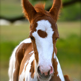Foal by Jennifer Earlston - Animals Horses ( baby, young, animal )