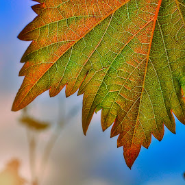 Grape leaves by Ivana Iva - Nature Up Close Leaves & Grasses ( grapes, green, morning, leaves, veins )