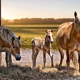 Haflinger Horse Family by Sandy Scott - Animals Horses ( mammals, riding animals., horse family, horses, haflinger horses, domestic animals,  )