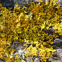 maritime sunburst lichen, yellow scale