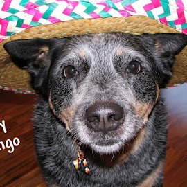 Hey Gringo by B l  Beirne - Animals - Dogs Portraits ( hey gringo, latin american dog, australian blue heeler, dog )