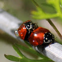 Spottless Lady Beetle