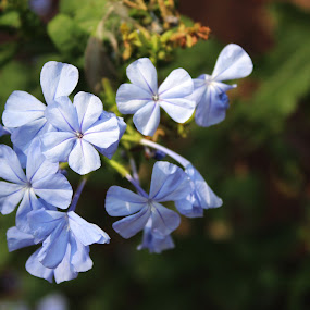 Blue Flower by Nithesh Panikkassery - Flowers Flowers in the Wild ( beautiful flower, white flower, flower background, flower and green, wallpaper, background, blue flower, flower wallpaper, flower )