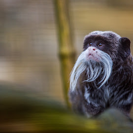 Emperor Tamarin by Jonathan Henchman - Animals Other Mammals ( zoo, tamarin, emperor tamarin, beard, primate, cute, bokeh, monkey )