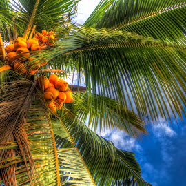 Coconut Tree from new angle  by Gihan Chamara - Nature Up Close Trees & Bushes ( coconut, tree, blue, orange. color )