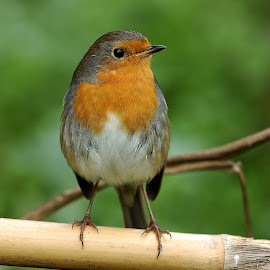 robin by Carmelo Parisi - Animals Birds