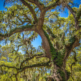 Oak & Moss by Benjamin Coy - Nature Up Close Trees & Bushes ( old oak, brookgreen, hdr, moss, sc, gardens, murrells inlet, live oak, south carolina, fence, blue sky, oak, spanish moss )
