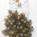 Cross Orbweaver Spider Hatchlings with video