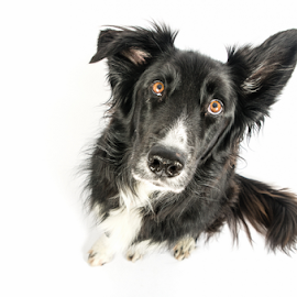 Not amused by Karen Havenaar - Animals - Dogs Portraits ( studio, border collie, pet, adorable, cute, dog, domestic )