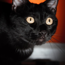Halloween Yuno by Shelby Harrison - Animals - Cats Portraits ( shadows big eyes, black cat close up orange background )
