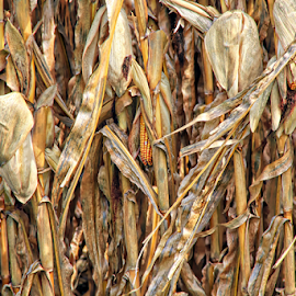 Cornfield by Marsha Biller - Nature Up Close Gardens & Produce ( husks, crisp, brown/yellow, dried up, withered, corn,  )