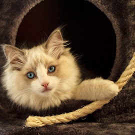 My Ragdoll ,3 months by Miranda Luyckx - Animals - Cats Kittens