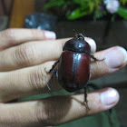 Ox Beetle (Female)