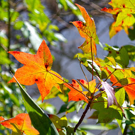 Fall Leaves by Carrie Cooper - Nature Up Close Trees & Bushes