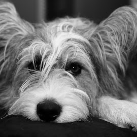 by Jacqui Sjonger - Animals - Dogs Portraits ( pet portrait, pet photography, resting, indoor, black and white, pet, dog portrait, dog )