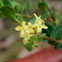 Yellow Rice-flower