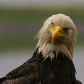 Quiz by Capt Jack - Animals Birds ( solo eagle, eagle, aleutian island, alaska, bald eagle,  )