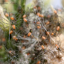 Green Lynx spiderlings