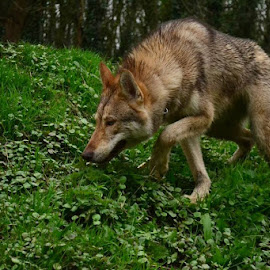 Tamaskan on the Prowl by Laura Viarisio - Novices Only Pets ( wolfdog, wolf, tamaskan, prowl, sneak )