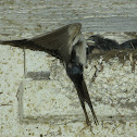 Barn Swallow with chicks