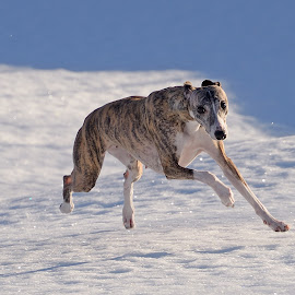 Whippet by Marius Birkeland - Animals - Dogs Running ( dogs, snow, dog, running, whippet,  )