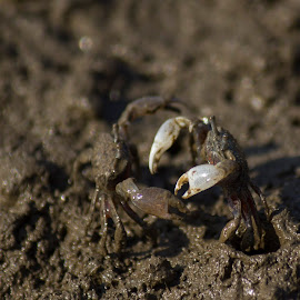 The crab fight by Prajwal Ullal - Animals Sea Creatures ( gorai, marsh, india, jetty, crabs, borivali, bird walk, miniature )