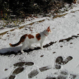 Snowy path for Caramel by John Payton - Animals - Cats Kittens ( kitten, cat, snow, path, nature, landscape )