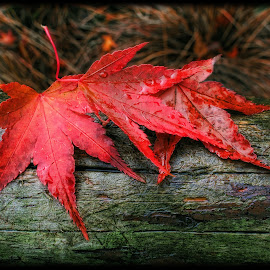 Maple Fall by Ian Pinn - Nature Up Close Leaves & Grasses ( red, wood, autumn, acer, leaf, maple,  )