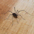Short legged harvestman