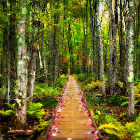 Autumn Leaves on Boardwalk by Aaron Priest - Landscapes Forests ( wild gardens of acadia, mount desert island, green, forest, overcast, leaves, woods, bokeh, boardwalk, panorama, autumn, acadia national park, fall, trees, cloudy, rain )