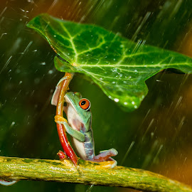 Ohh nooo... :( It's Raining  by Kutub Macro-man - Animals Amphibians ( animals, wild life, nature, raining, frog, red eye tree frog, amphibians, rain, , baby, young, animal )