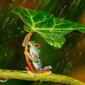 Ohh nooo... :( It's Raining  by Kutub Macro-man - Animals Amphibians ( #showusyourpets, animals, wild life, raining, nature, frog, baby, red eye tree frog, #garyfongpets, young, amphibians, rain, animal )