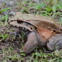 Frog-eating frog