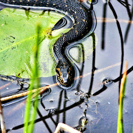A Hunting Water Moccasin!  by Florent Alezi - Animals Reptiles