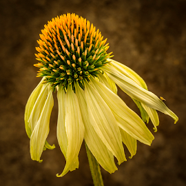 Echinacea by Peter Samuelsson - Flowers Single Flower