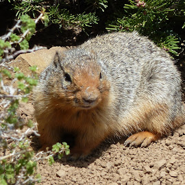 Squirrel Watching The Scenery by Connie Hoyt Tompkins - Animals Other Mammals