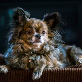 Gio by Andy Chow - Animals - Dogs Portraits ( chihuahua, #GARYFONGPETS, #SHOWUSYOURPETS,  )
