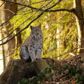 Lynx by Fred van Maurik - Animals Lions, Tigers & Big Cats ( bavarian forest, cat, sigma, lynx lynx, lynx, luchs, germany, nikon, tripod )