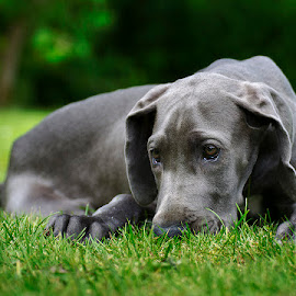 The smell of grass by Marcus Holmqvist - Animals - Dogs Puppies (  )