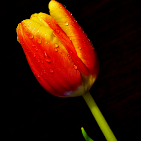 Spring prophet by Irena Gedgaudiene - Flowers Single Flower ( red, tulip, drops, spring, flower,  )