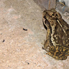 Gulf Coast Toad (male)