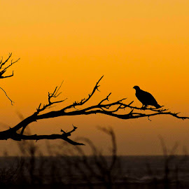 The Osprey by RRC - Landscapes Sunsets & Sunrises ( double beach, beach )