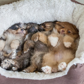 Sleeping Pomeranians by Dan Dimitriu - Animals - Dogs Puppies ( puppies, dogs, colors, sleeping, pomeranian )