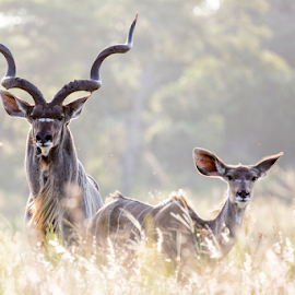 Kudu Couple by Peter de Groot - Animals Other ( pdgpix, kudu, female, buck, antelope, male, south africa )