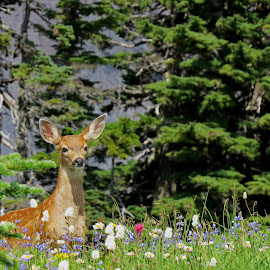 Fawn in the Flowers by Debbie Stika - Animals Other Mammals ( wildflowers, nature, mt. rainier national park, wildlife, fawn, black-tailed deer, deer,  )