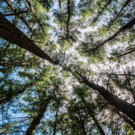 looking up by Terry McKay II - Nature Up Close Trees & Bushes ( nature, trees, looking up, light, sun )