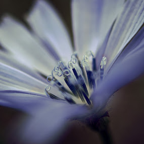 Chicory by Sondra Sarra - Nature Up Close Flowers ( macro, pollen, petals, blue, chicory, flower )