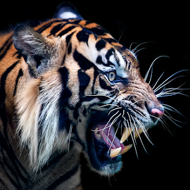 Sumatran Tiger by Ivan Lee - Animals Lions, Tigers & Big Cats ( canon, tiger, indonesia, sumatran )